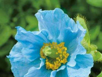 The beauty of flowers - blue p - The beauty of flowers - blue poppy
