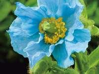Красотата на цветята - син мак