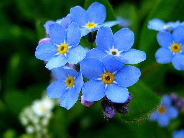 Красотата на цветята - незабравими - La beauté des fleurs - myosotis sont des fleurs d'un conte de fées (9×9)