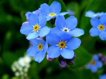 The beauty of flowers - forget - La beauté des fleurs - myosotis sont des fleurs d'un conte de fées