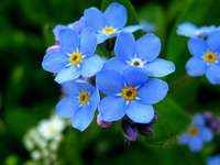 Красотата на цветята - незабравими