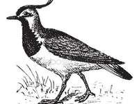 oiseau vanneau - vanneau est un oiseau sage est petit et beau