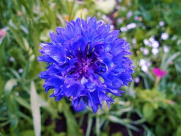 bluebottle - Cornflower, it's a pity that it's not in the grain ...