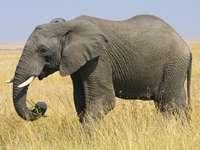 słoniczek - Elefantenbäumchen