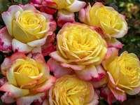 έκπτωση τριαντάφυλλα