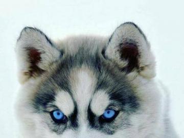 Haagské štěně batole - husky štěně batole