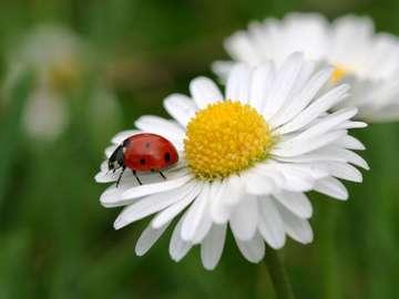 fiori - la natura stessa - coccinella su un petalo di fiore