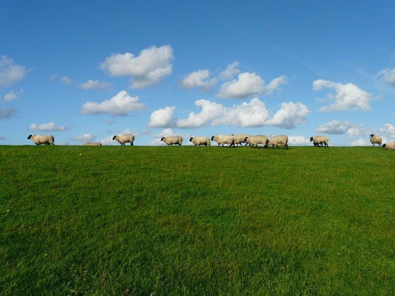 Troupeau de moutons - Un troupeau de moutons sur une prairie (10×10)