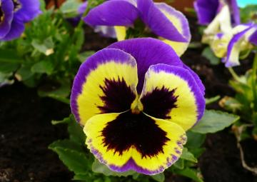 pansy flower - Pansy is a beautiful flower, oh yes!