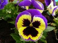 flor de amor-perfeito - o amor perfeito é uma flor bonita, oh sim!