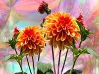 květiny cd - Jiřiny na barevném pozadí