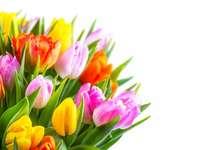 tulipán - Csokor színes tulipánok