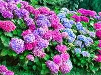 Hydrangea flowers - Hydrangea L. is a genus of plants in the Hydrangeaceae family, commonly known as hydrangeas. The vul