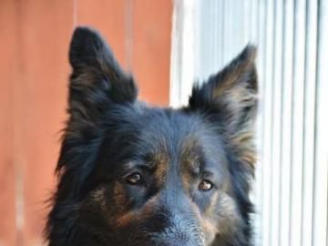 animali adorabili - grande, forte, il cane sta guardando