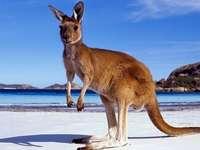 Голямо кенгуру