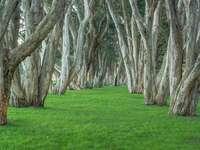 Gamla träd i parken. - Gamla träd i parken.