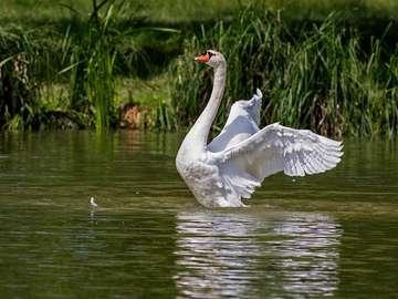 Swan  - Lady Swan sullo stagno