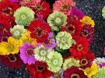 Kolorowe cynie - Kolorowe cynie, kwiatuszki