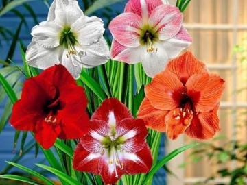 Piękne kwiaty - Piękne kwiaty cebulowe