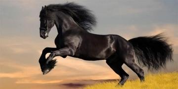running of the horse - Black horse while running