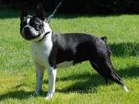 Куче Бостънски териер - Съставете снимка на куче от Бостънски териер.