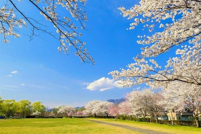 Paesaggio primaverile - primavera, parco, alberi in fiore (10×10)