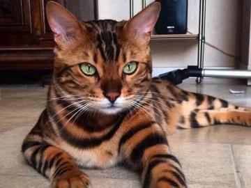 animali adorabili - il gattino assomiglia ad una tigre