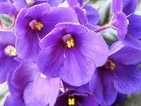 Virágos ibolya