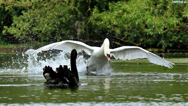 Cisnes.