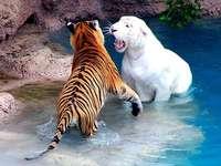 Тигри.