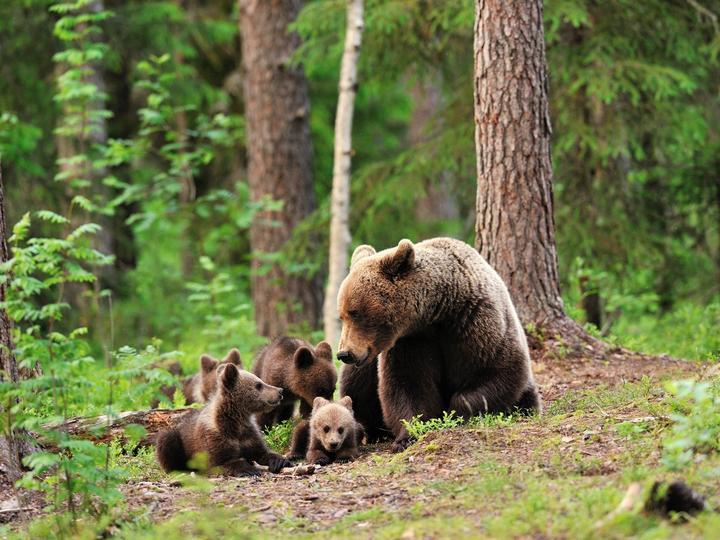 Bears - Anya gyermekeivel (13×13)