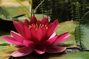 flowers c.d - maroon water lily on the water