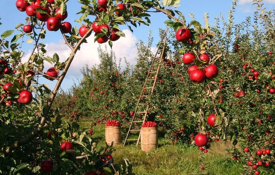 Récolte de pommes - Récolte de pommes. Une collection de pommes dans un verger de fruits. Rouge juteux directement au panier (10×10)