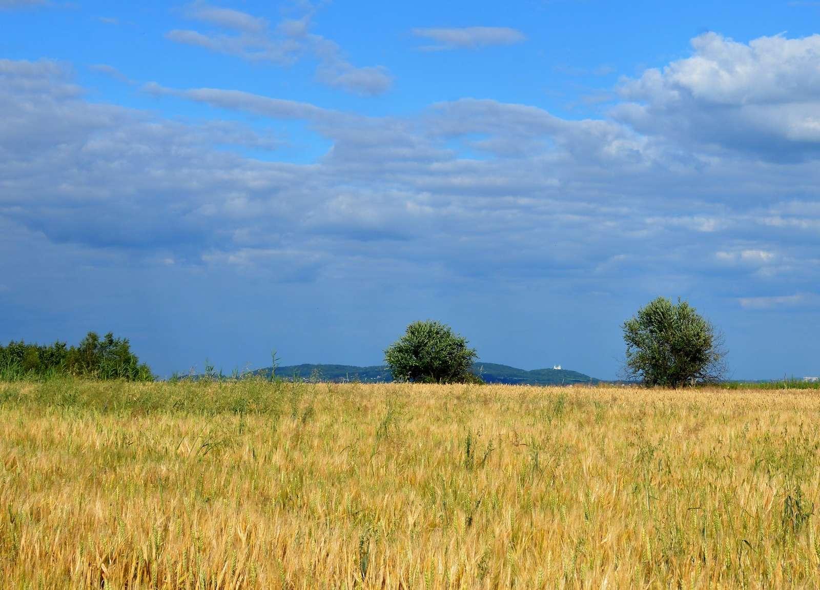 Teljes nyár Rybnában - Champs jaunes, ciel bleu et à l'horizon (7×6)