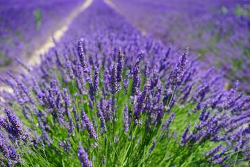 Lavender. - A field of blooming lavender.