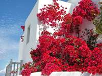 Mykonos. Grèce. - Bugenvilla rouge sur Mykonos.
