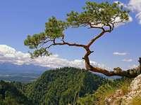 Le célèbre pin à Pieniny. - Le célèbre pin à Pieniny. Apparemment, il a 500 ans.
