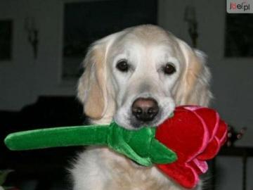 animali adorabili - grosso cane con una rosa