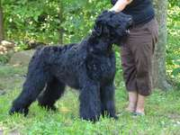 Terrier russe noir