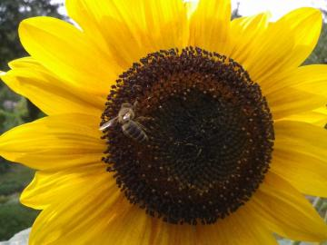 Hardworking bee - A busy bee pollinates the sunflower