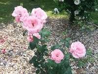 розов - навеси, цветя продължиха