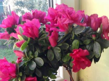 maison de fleurs azalée - maison de fleurs en pot azalée