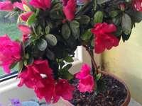 Azálea virág