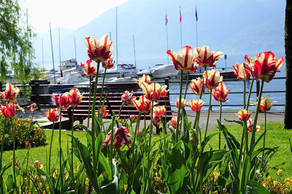 Tulipani a Locarno.