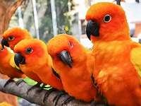 Оранжеви папагали