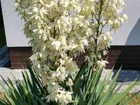 Juka blooms - Blooming yuk, wielygnia.