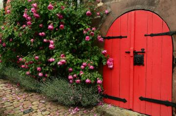 Rose bush. - A rose bush at the red door.
