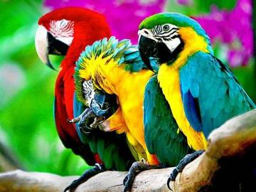 colorful parrots - A beautiful photo of colorful parrots. Parrots are beautiful animals.