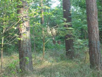 Chevreuil dans la forêt - Chevreuils dans la forêt près de la mer polonaise