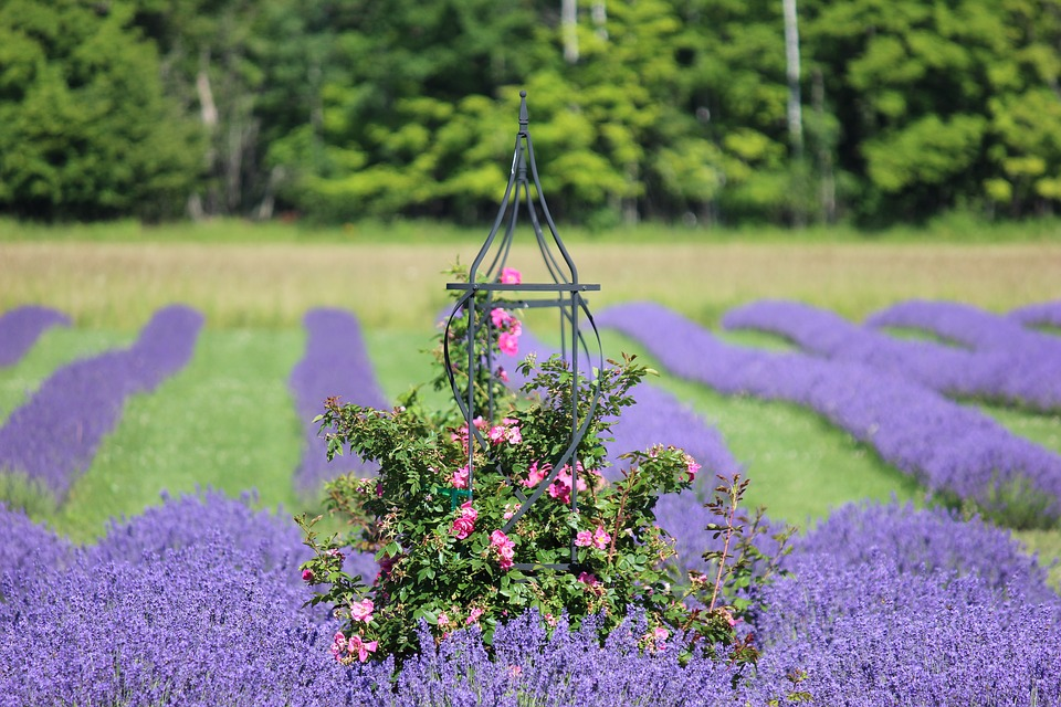 En ros i ett lavendelfält. pussel